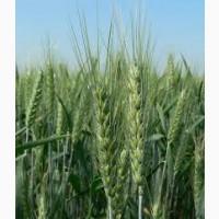 Пшениця Кітрі