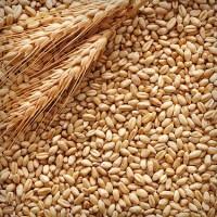 Куплю дорого кукурузу, ячмень, рожь, овес, пшеницу Сумы