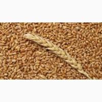 Куплю пшеницу 2, 3 класса