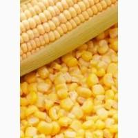 Купим кукурузу в Сумской области. Форма оплаты любая
