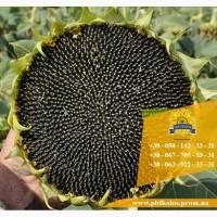 Якісне насіння соняшника Гусляр від виробника