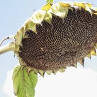 Насіння соняшнику Альварез, гібрид під євро-лайтнінг (Clearfield)