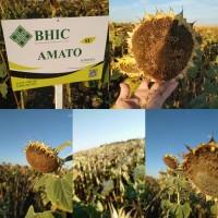 Насіння гібридів соняшнику АМАТО G+ (115-120 дн) 2020 року урожаю