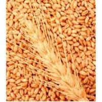 Пшениця м'яка яра елегія миронівська та рання 93