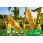 Насіння цукрової кукурудзи ТМ Мнагор, SH2-тип, цукор від 20%, гібриди від 68 до 80 днів