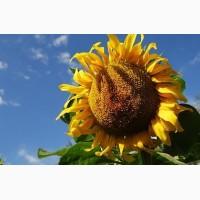 Атілла гібрид соняшнику (посівний матеріал)