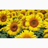 Продам високоврожайний гербіцидостійкий соняшник