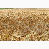 Продам семена, канадский ярый ячмень Авакс, Талбот