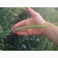 Пшениця від виробника