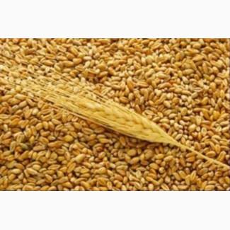 Закупаем пшеницу классовую и фуражную.Также покупаем кукурузу, ячмень, семечку