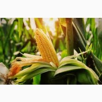 Гибрид Моника 350 МВ ФАО 350 семена кукурузы