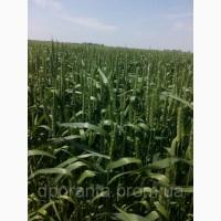 Насіння ярої пшениці Елегія миронівська БН, еліта, СН-1