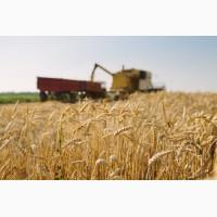 Продам пшеницу - Урожай 2018 - зі складу, Волынская обл