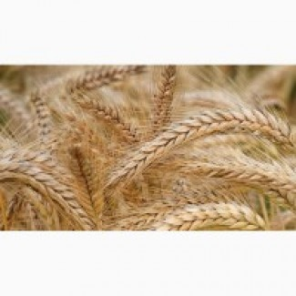 Закупаем ячмень, пшеницу классовую и фуражную, кукурузу.По всей территории Украины