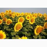 Продам високоврожайний соняшник під Євро-Лайтнінг