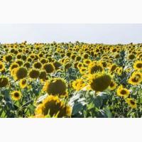 Олівер new, Кардинал, Дозор, Заграва – насіння соняшнику в м. Суми