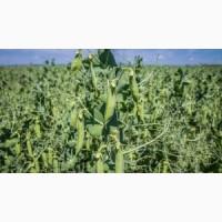 Продам насіння озимого гороха Баллтрап (Франція)