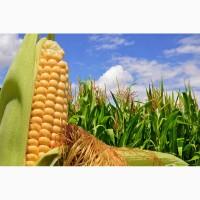Семена кукурузы от АГРОЕМГА Днепровский 181