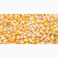 Закупівля фуражної кукурудзи