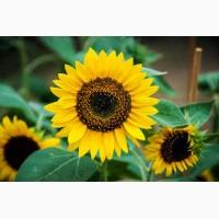 Продам насіння гібриду соняшнику Армагедон ІМІ