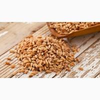 Купим пшеницу фуражную в Сумской области. Форма оплаты любая