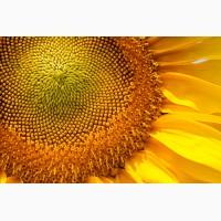 Гібрид соняшнику Солтан стійкий до гранстару