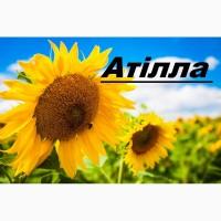 Атілла насіння гібриду соняшнику 95-100дн