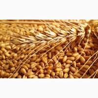 Високоякісне насіння озимої пшениці елітних сортів врожаю 2020 року