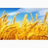 Закупаем пшеницу 1, 2 класса