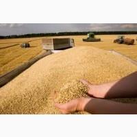 Куплю кукурузу, пшеницу всех классов, ячмень, рожь, овес. Зерноотходы
