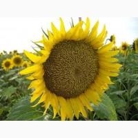Продам семена подсолнечника НС Имисан (евролайтнинг)