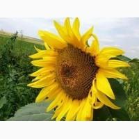 Новинка) Продаємо насіння соняшнику гібрид Олівер