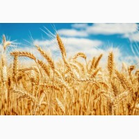 Куплю пшеницю 2-го 3-го класу та фураж