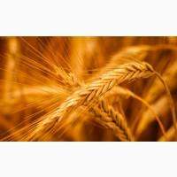 Жито озиме Сіріус 2020