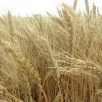 Продам насіння озимої пшениці сорту Шестопалівка 1-Репродукція
