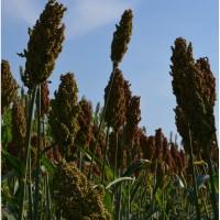 Семена зернового сорго Ютами, Yutami, 100-105 дней