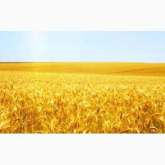 Куплю дорого пшеницю 2, 3 класу, ячмінь