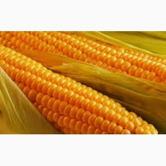 Продаємо насіння кукурудзи