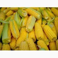 Семена кукурузы Полтава. Украинская, импортная селекция