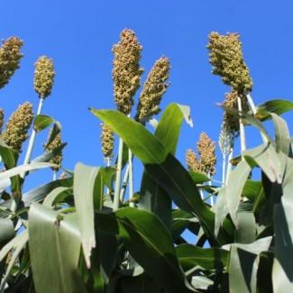 Семена зернового сорго Понки, Ponki, 110-115 суток