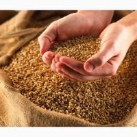 Куплю жито в Тернопільській, Хмельницькій, Івано-франківській і сусідніх областях
