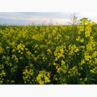 Семена озимого рапса LEMBKE Шерпа, Траст КЛ, НПЦ 9800, Мерседес, Абакус