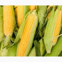 Семена кукурузы Билозирский 295 СВ ФАО 280 цена за посевную