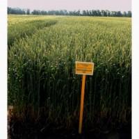 Семена озимой пшеницы Мироновская-65-элита