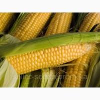 Семена кукурузы Солонянский 298 СВ ФАО 280 цена за посевную