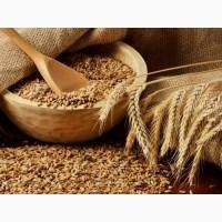 Куплю пшеницу 2, 3, 4-6 кл., ячмень, рапс, кукурузу