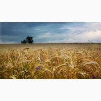Закуповуємо великим оптом у виробника пшеницю 2-4 класс