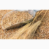 Куплю пшеницу 2-4 кл. дорого! Вся Украина! Самовывоз с хозяйства