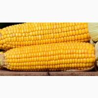 Кукуруза куплю. Закупаем кукурузу