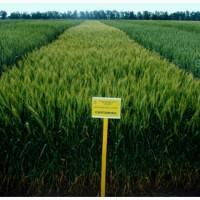 Семена озимой пшеницы Смуглянка-элита